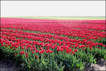 Tiulpenmeer