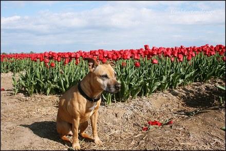 Stigmata im Tulpenmeer